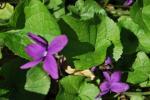 violettes dans mon jardin