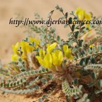 Fleur du desert a douz 1