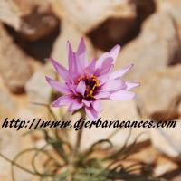 Fleur du desert a douz violette 1