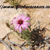 Fleur du desert a douz violette et jaune